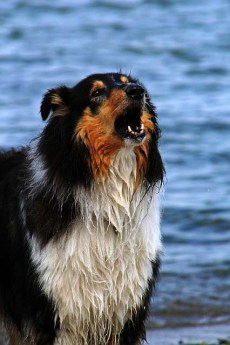 aboiement chien