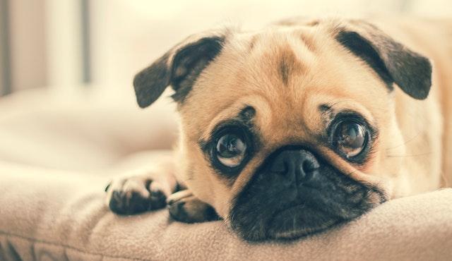 chien-qui pleure