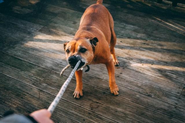mon chien tire en laisse