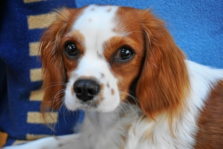 petit chien poilu