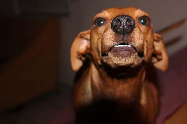 chien qui grogne sans raison