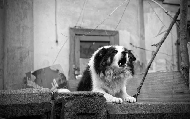 grande agressivité chien