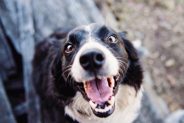 apprendre le rappel à son chien