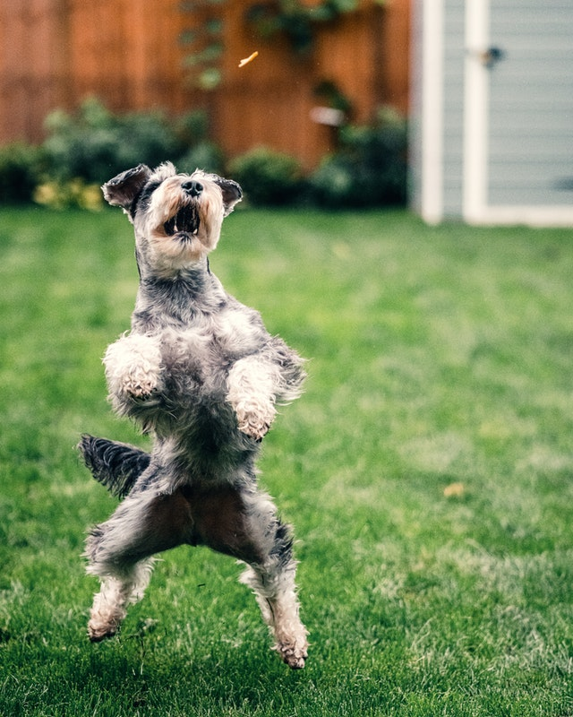 chien qui saute sur les gens